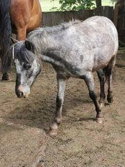 verkaufe dartmoor hill pony