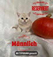 BKH Scotisch Fold Kitten Abgabebereit