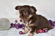 Wunderschöne Chihuahua langhaar Welpen mit