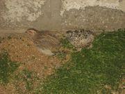 2 Euro-Wachteln Weibchen Lege-Wachteln Mast-Wachteln