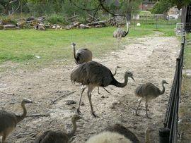 Vögel - Nandu Küken