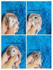 Junge hübsche Ratten aus Hobbyzucht
