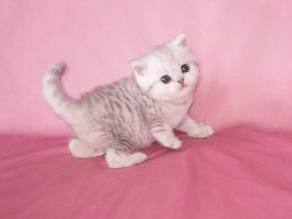 Scottish Fold black silver shaded