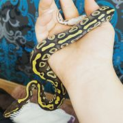 Mojave Yellowbelly
