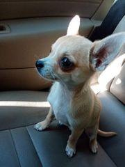 Wunderschönen Chihuahua