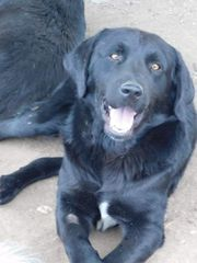 Labrador Mix Rüde sucht Familie