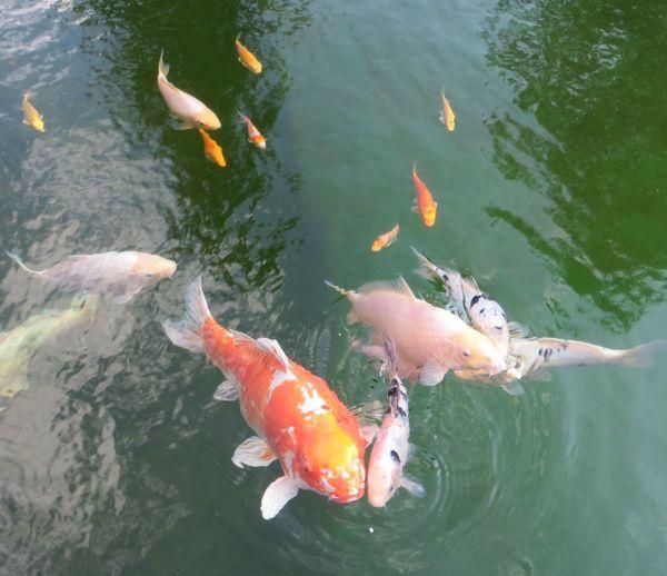 Japan-Koi Gruppe 3 Fische 1
