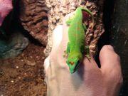 Großer Madagaskar Taggecko - Zuchtgruppe