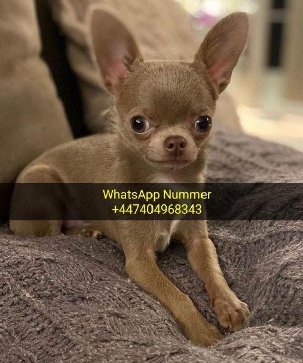 Mini Chihuahua Mini Welpen In Koln Hunde Kaufen Und Verkaufen Uber Private Kleinanzeigen