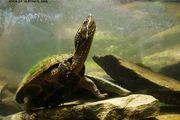 Moschusschildkröte Sternotherus Oderatus
