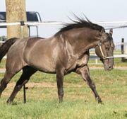 Decksprung Quarter Horse Grullo Hengst