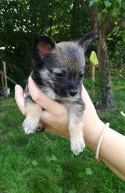 Langhaar Chihuahuawelpen suchen ihre Familie