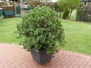 großer Pfennigbaum Crassula ovata im