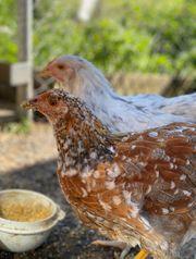 junge Hühner verschiedene Rasse