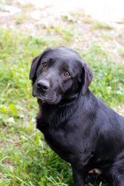 DON - schwarzer Labrador Mix - ist