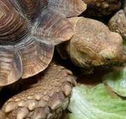 Spornschildkröten Weibchen 50 cm