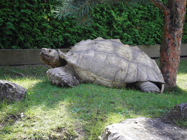 Riesenschildkröten Spornschildkröten Pantherschildkröten Landschildkröten NZ