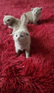 Wunderschöne reinrassige BKH Kitten suchen
