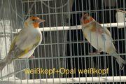 Stieglitz Mutation in Opal-weißkopf-Eumo-Agaat-braun