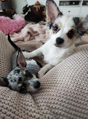 Chihuahua Rüde Merle sucht Traum