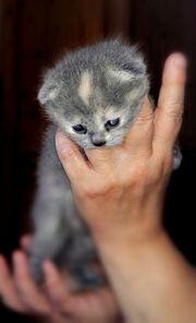 Wunderschöne BKH Scottish Ford Kitten