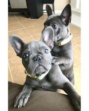 Wunderschöne Französische Bulldoggen Welpen
