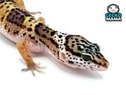 Leopardgecko reines Wildtyp Weibchen ohne