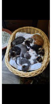 Katzen Babys BKH Mix