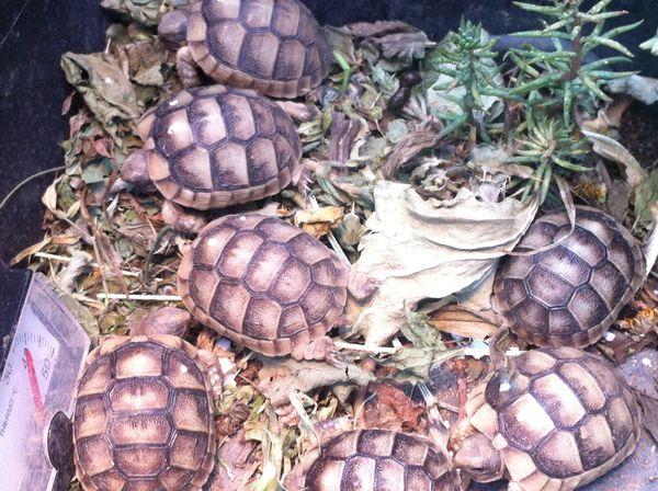 2-jährige Landschildkröten Breitrand Testudo Marginata -