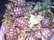 3-jährige Landschildkröten Breitrand Testudo Marginata -