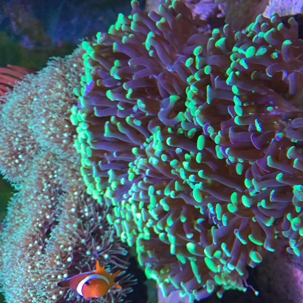 Suche euphyllia und Krustenanemonen Meerwasser