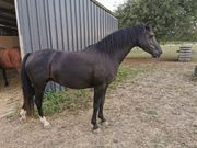 Welsh Pony zuchtstute