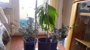 Olivenbäumchen und Avocadobäumchen im Topf