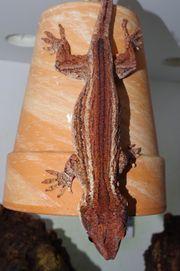 0 1 Rhacodactylus auriculatus Höckerkopfgecko
