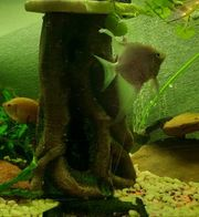 3 Skalare und 1 zwergfadenfisch