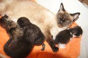 Thaikatzen Mixkatzen Mischlinge Siam Katzen