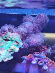 Sinularia Sp Meerwasser Korallen