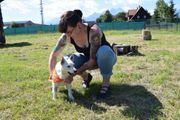 Belko Jack Russel Terrier sucht