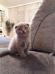 2 Reinrassige Schottisch Fold Kitten