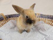 junges Kaninchen Zwergkaninchen Zwergwidder Männchen