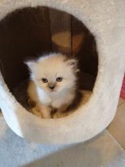 Birma Perser Mix Kitten