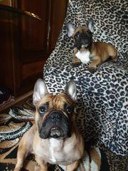 Reinrassige Französische Bulldogen