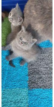 Wunderschöne BKH Kitten in Farbe