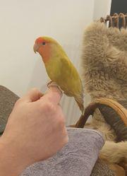 Unzertrennliche Rotköpfchen Papageien