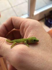 Junge Madagaskar Taggeckos Phelsuma grandis