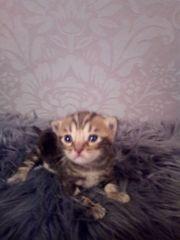BKH Bengal Mix kitten mit