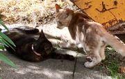 Maine-Coon-Mix Kitten Katzenkinder-Paar