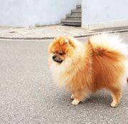 Deckrüde Spitz Pomeranian kleiner Spitz