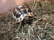 griechische Landschildkröten Terrarium