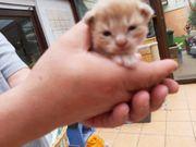 Maine coon Kitten noch 2